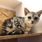 所沢にオープンした猫カフェ『CAT CAFE LILY』に行ってきた話|マャーの妹がいる猫カフェ