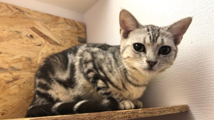 所沢にオープンした猫カフェ『CAT CAFE LILY』に行ってきた話 マャーの妹がいる猫カフェ